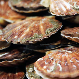 Coquilles Saint-Jacques, vente en ligne de poisson frais et fruits de mer - poissonnerie Morin Marée Albi