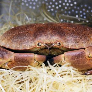 Tourteau vivant, vente de tourteaux vivants - poissonnerie Albi - vente de crustacés