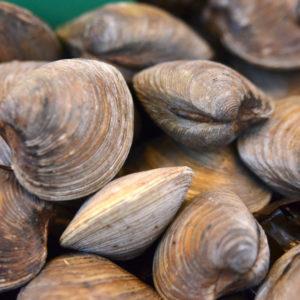 Clams, fruits de mer vivant - vente en ligne de poissons frais et fruits de mer sur Albi et environs - poissonnerie Morin Marée Albi